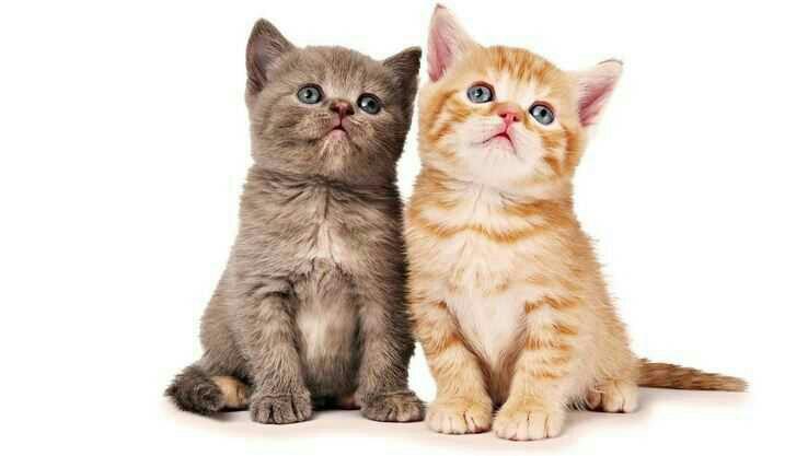 10 Penyebab Umum Bulu Kucing Rontok Tips Mencegahnya