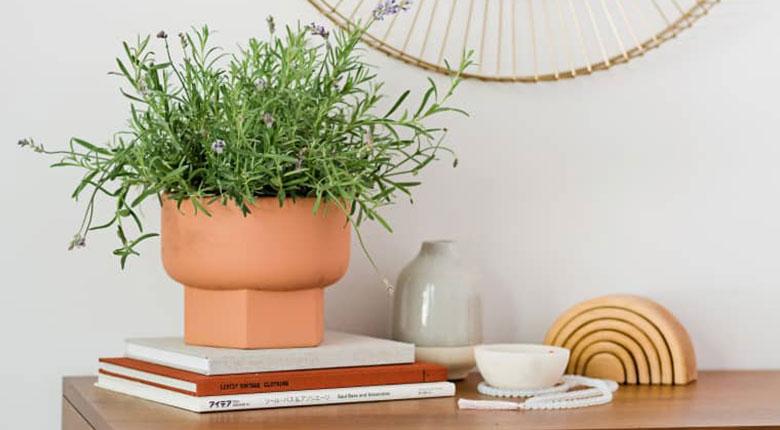 cara menanam lavender di pot